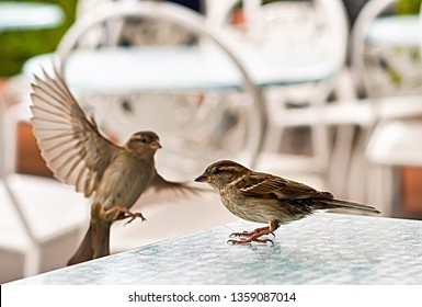 Small and delicate sparrow, Asian sparrow in park, House sparrow (Passer domesticus) family sparrows (Passeridae)