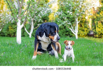 small dog and big dog best friends, large Swiss Mountain dog  and jack russell terrier on a background of greenery in the garden in summer, two pets, couple of friends.