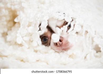 Une petite race de chihuahua se trouve enveloppée dans un plaid blanc. C'est une scène amusante.
