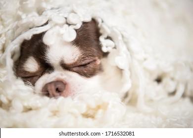 Un pequeño perro engendra mentiras chihuahua envueltas en una manta blanca. Es una escena divertida.
