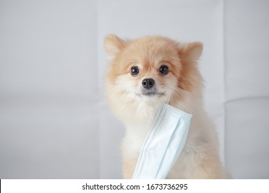 small dog breed or pomeranian with light brown hair sitting and wearing a anti pollution mask with white background. It feels uncomfortable so it trying to pull mask out