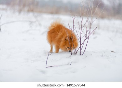 Small dog breed Pomeranian Spitz stands and sniffing white snow. Pomeranian in snow forest. Winter puppy. Cute little spitz. Happy active pomeranian spitz in winter. adorable red/orange Pom