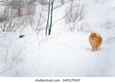 Small dog breed Pomeranian Spitz stands on white snow. Pomeranian in snow forest. Winter puppy. Cute little spitz. Happy active pomeranian spitz in winter. adorable red/orange Pom