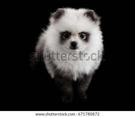 Small Dog Breed Pomeranian Spitz White Stock Photo Edit Now