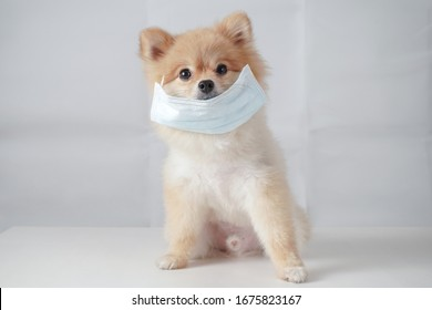 Small dog breeds or Pomeranian with brown hairs sitting on the white table with white background and wearing mask for protect a pollution or disease