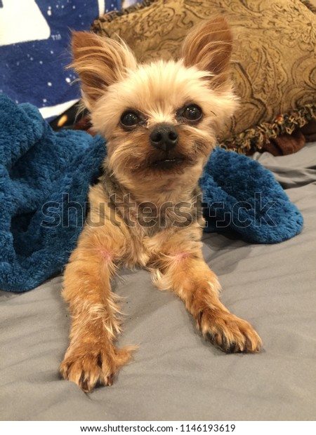 Small Dog Brown Hair Fluffy Ears Stock Photo Edit Now