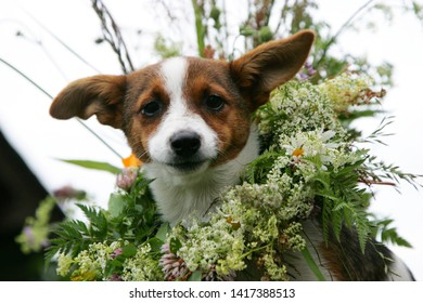 small dog brown with white with flower crown at ligo festive in latvia
