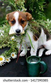 small dog brown with white with flower crown eat a cheese, at ligo festive in latvia