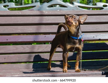 A small dog with a chain on his neck is on the bench with my head