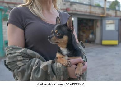 small dog chihuahua in the girl's hands. Chihuahua dog in the arms of his mistress on the background of military jacketsDog is a friend of man. Black-brown-white dog.The dog is cuddling.