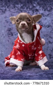 Small dog Chihuahua ready for the New year. Christmas portrait on a blue background.
