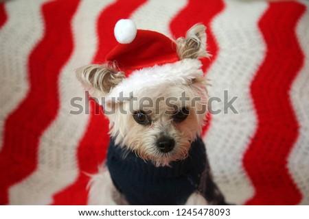Small Dog Christmas Morkie Half Maltese Stock Photo Edit Now
