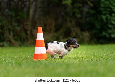 Small dog circulates on a cone or pylons- Cute Jack Russell Terrier doggy obedient while doing sports