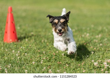 Small dog circulates on a cone - Cute Jack Russell Terrier doggy obedient while doing sports