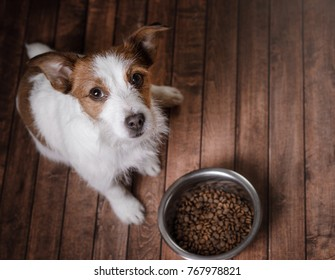 a small dog eats. Pet with a bowl of feed. Jack Russell Terrier