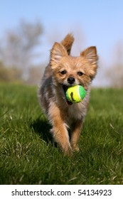 A small dog fetching her toy.