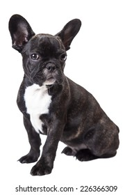 small dog french bulldog isolated on a white background