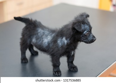 small dog with generalized demodectic mange, generalized alopecia