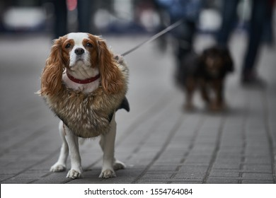 Small dog goes for a walk. cavalier dog - Shutterstock ID 1554764084