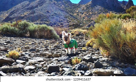 small dog with green astronaut suit in the landscape of the Montaña Rajadas de Tenerife at the foot of the Teide. The bright coat of the dog is flooded with light, he stands in the backlight .