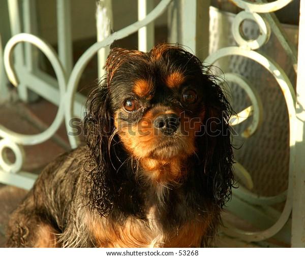Small dog having a really bad hairday