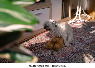 Small dog humps its teddy bear toy on the room floor