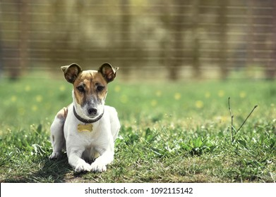 a small dog lies in the grass.