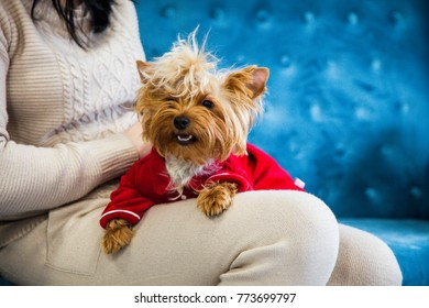 A small dog lies on the hands of her mistress. A New Year dog photo session on a couch. A little sweet little dog on a blue sofa with Christmas toys and dressed in festive clothes.