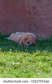A small dog like fox sleeping in the shade of a red wall on a spring day.