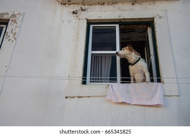 Small dog looking from a window of a house in the old town of Coimbra in Portugal in a calm winter afternoon.