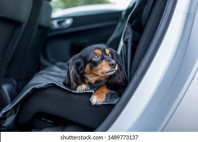 small dog lying down in the back seat of car with pleading eyes