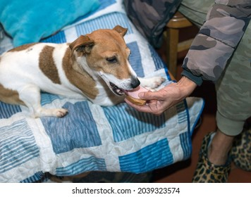 a small dog lying on a sofa and eating a snadwich, concept of spoiled animals