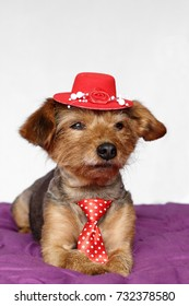 small dog in a lying position dressed in red tie and red hat
