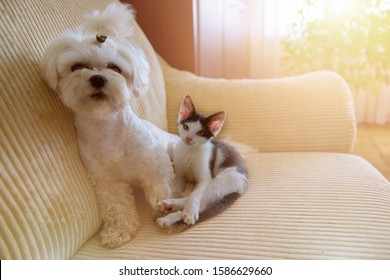Small dog maltese and a little kitten sitting on a sofa in home
