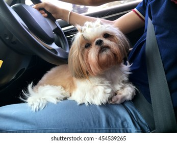 Small dog maltese sitting in the car on the driver's seats in a safety harness, Holiday travel with pets partner.