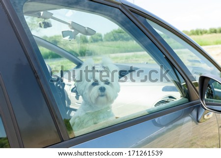 Small dog maltese sitting in a car with closed window
