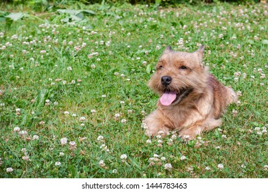 A small dog (Norwich Terrier) lies on the green grass and looks at the camera.
