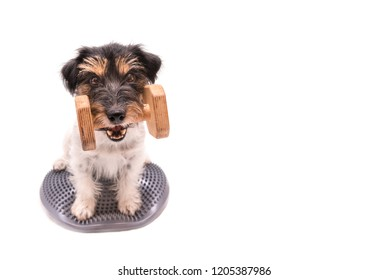 Small dog on balance pad with a dumbbells in the catch - Cute purebred Jack Russell Terrier doggie, 3 years old, hair style rough