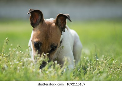 small dog playing in the grass, close-up