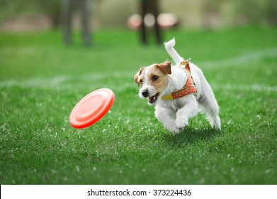 small dog playing with plastic disk