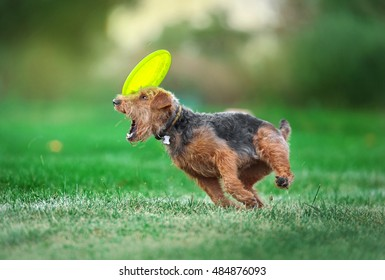 small dog playing with the plastic disk