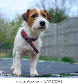 Small dog poses on a children's toy - a trampoline in the garden