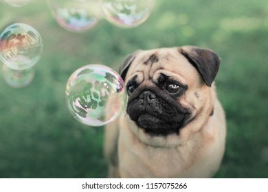 small dog pug watching bubbles on green nature background