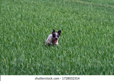 A small dog puppy playing in the firld rye wheat green grass