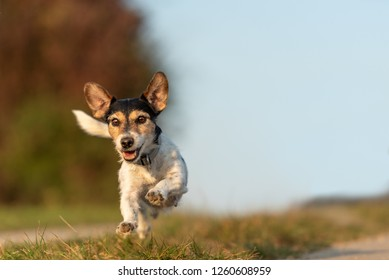 small  dog is running and flies over a green meadow in summer in front of blue sky - Jack Russell Terrier Hound 9 years old