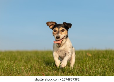 small  dog is running and flies over a green meadow in sommer in front of blue sky - Jack Russell Terrier Hound 9 years old