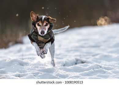 small dog runs over a meadow in the snow in winter and wears a warm coat - Cute Jack Russell Terrier hound, 11 years old, hair type smooth