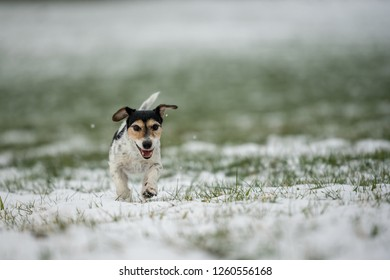 small dog runs over a meadow in the snow in winter landscape - Cute Jack Russell Terrier hound, 9 years old, hair type broken