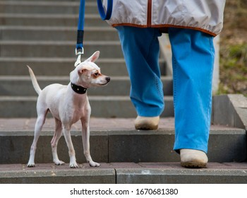 A small dog, a Russian toy Terrier, proudly stands on a leash at the feet of the owner on the steps.