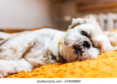 small dog- shih tzu on bed. pet in bedroom